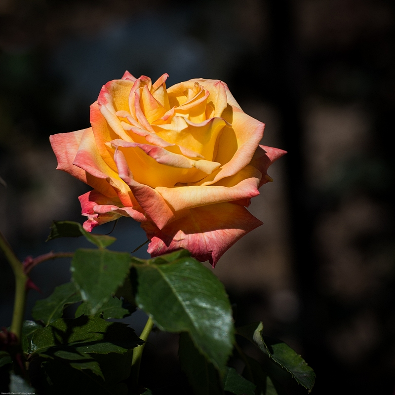 La roseraie du jardin du thabor juin 2015 for La jardin 2015